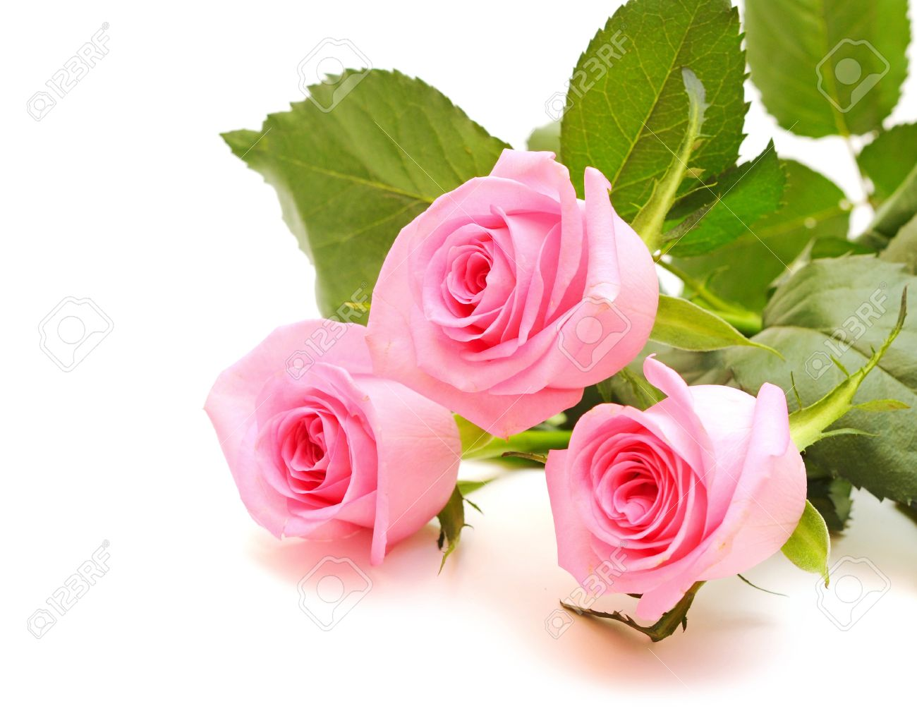 Pink Roses Stock Photos Royalty Free Pink Roses Images