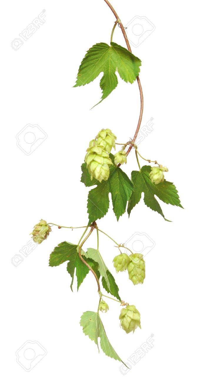 fresh hop branches, isolated on white background Stock Photo - 10303536