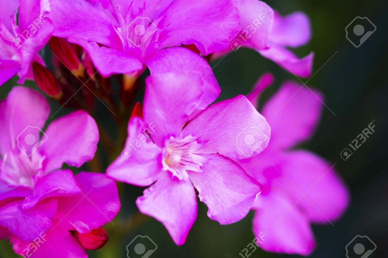 Close Up Of A Bunch Of Small Pink Flowers Lizenzfreie Fotos Bilder