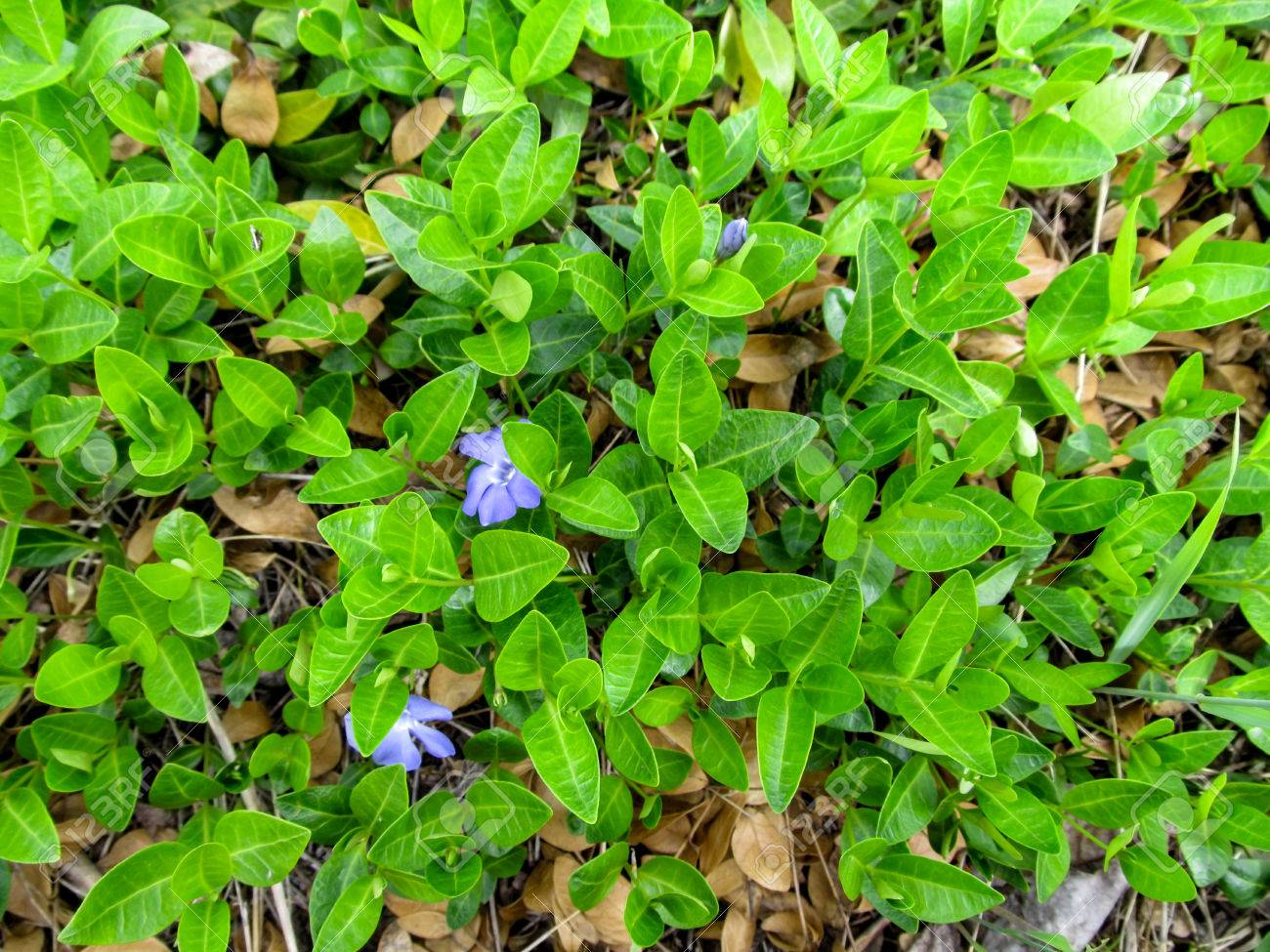 Floral green juicy background of a creeping plant of the vinca floral green juicy background of a creeping plant of the vinca minor with two blue flowers izmirmasajfo Images