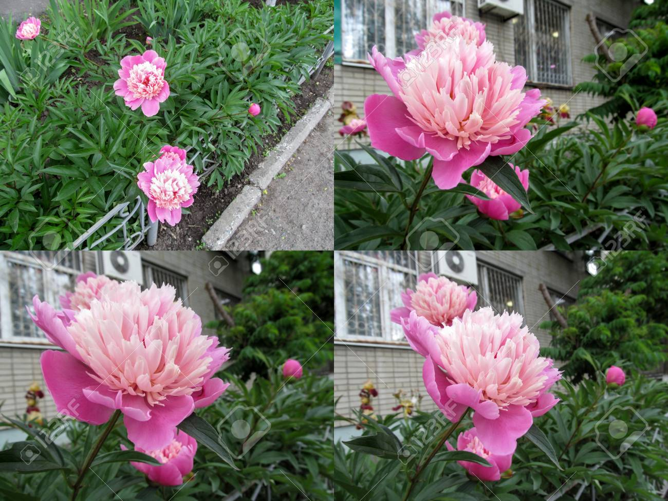 Set Of Four Photos Of Pretty Pastel Pink Peonies Of Gay Pari