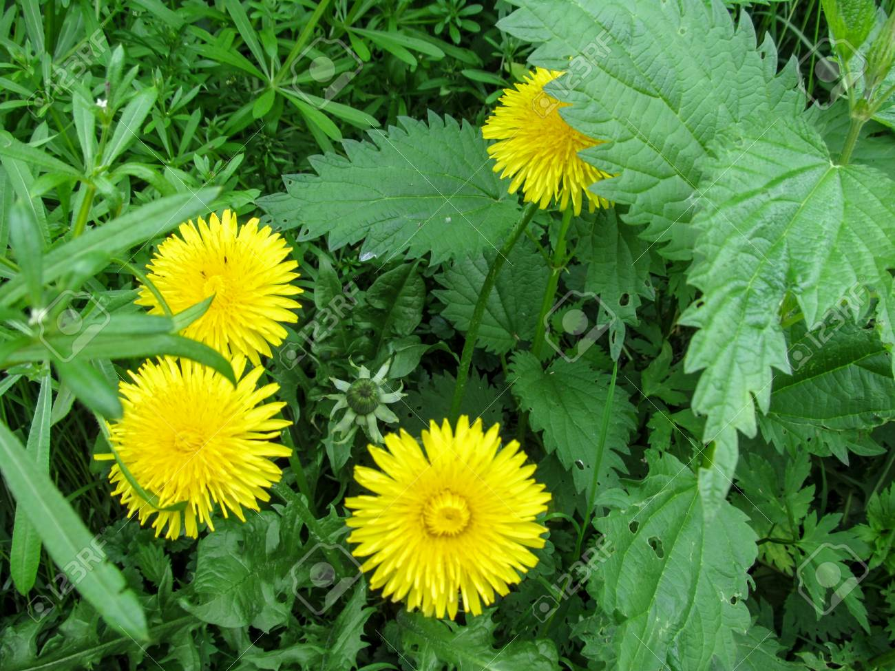 Four Brightly Yellow Dandelion Flowers Like The Suns Among The