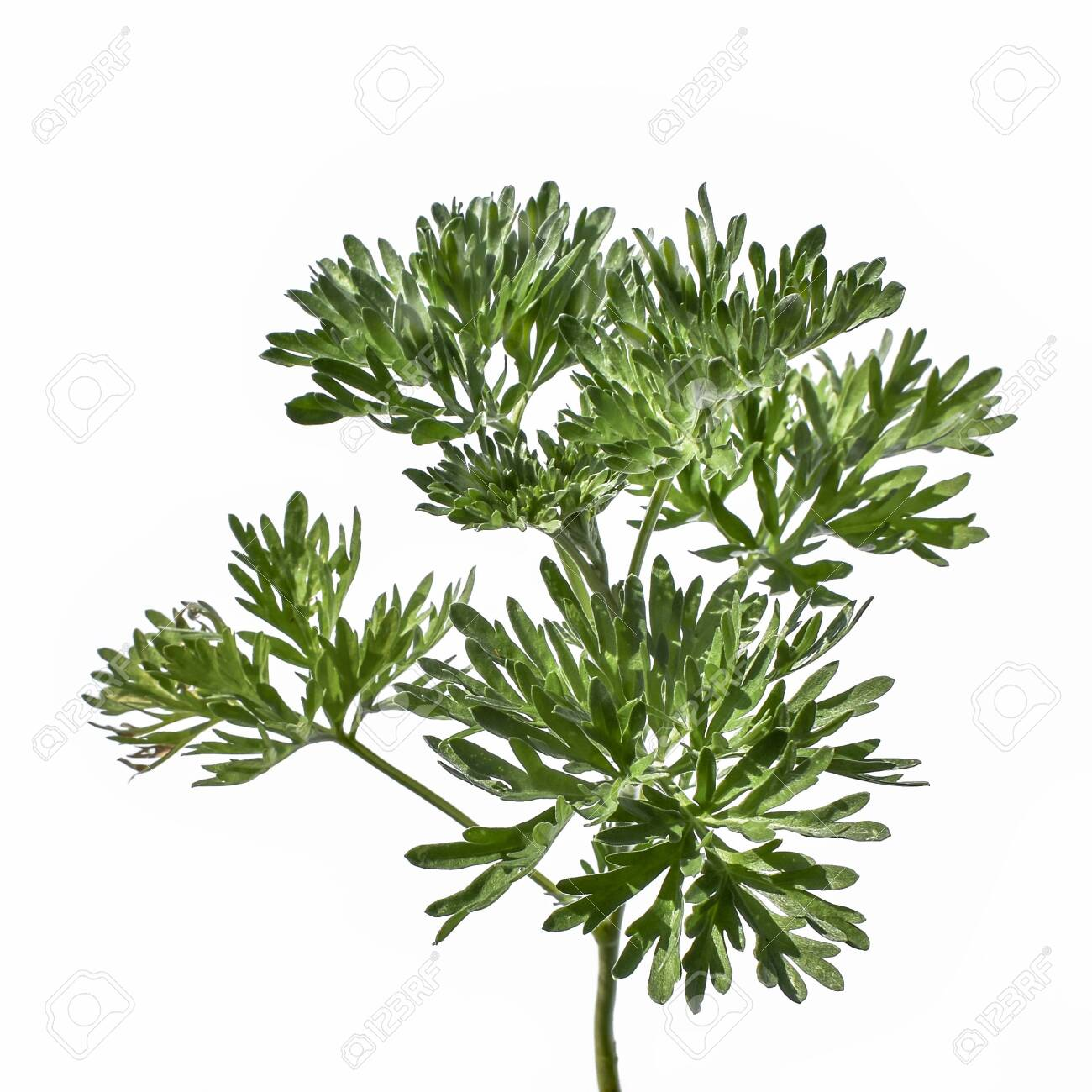 Young green juicy wormwood stalk with lush foliage, close-up, isolated on a white background. Raster clipart of a medical wild Artemisia absinthium plant - 150176306
