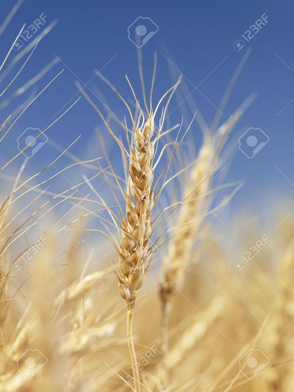 Close up view of wheat field ready for harvest. Stock Photo - 1832248