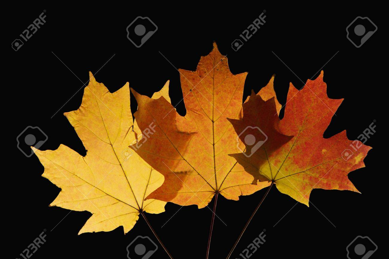 Three Sugar Maple Leaves Against Black Background Stock Photo - Norway maple vs sugar maple