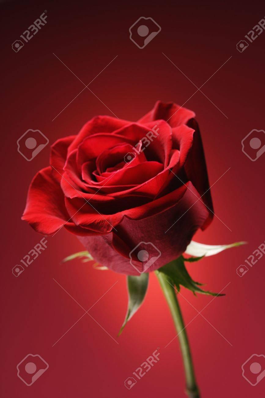 Única de tallo largo rosa roja contra el fondo rojo brillante.  Foto de archivo - 2191334