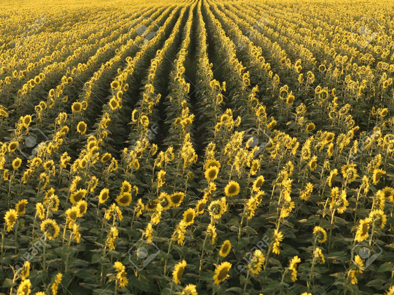 Agricultural field of sunflowers planted in rows. Stock Photo - 2556052
