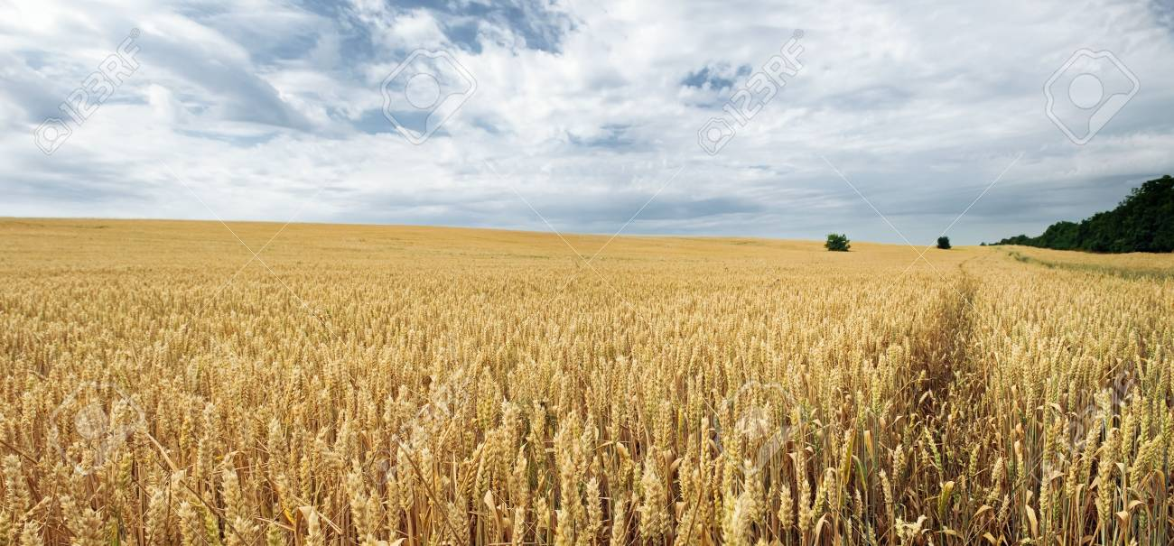 Summer field of wheat Stock Photo - 7389329