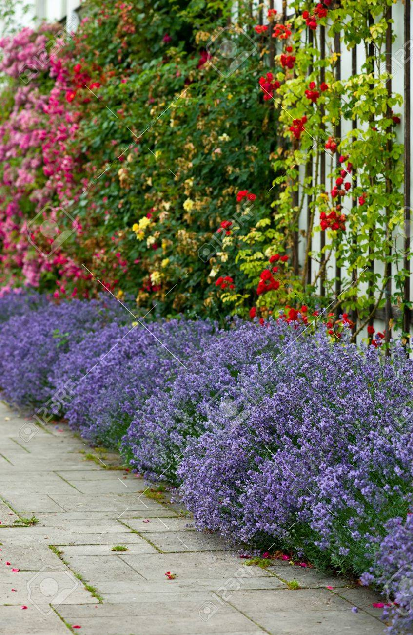 Flower Bed Of Lavender And A Colorful Composition Of Roses Stock