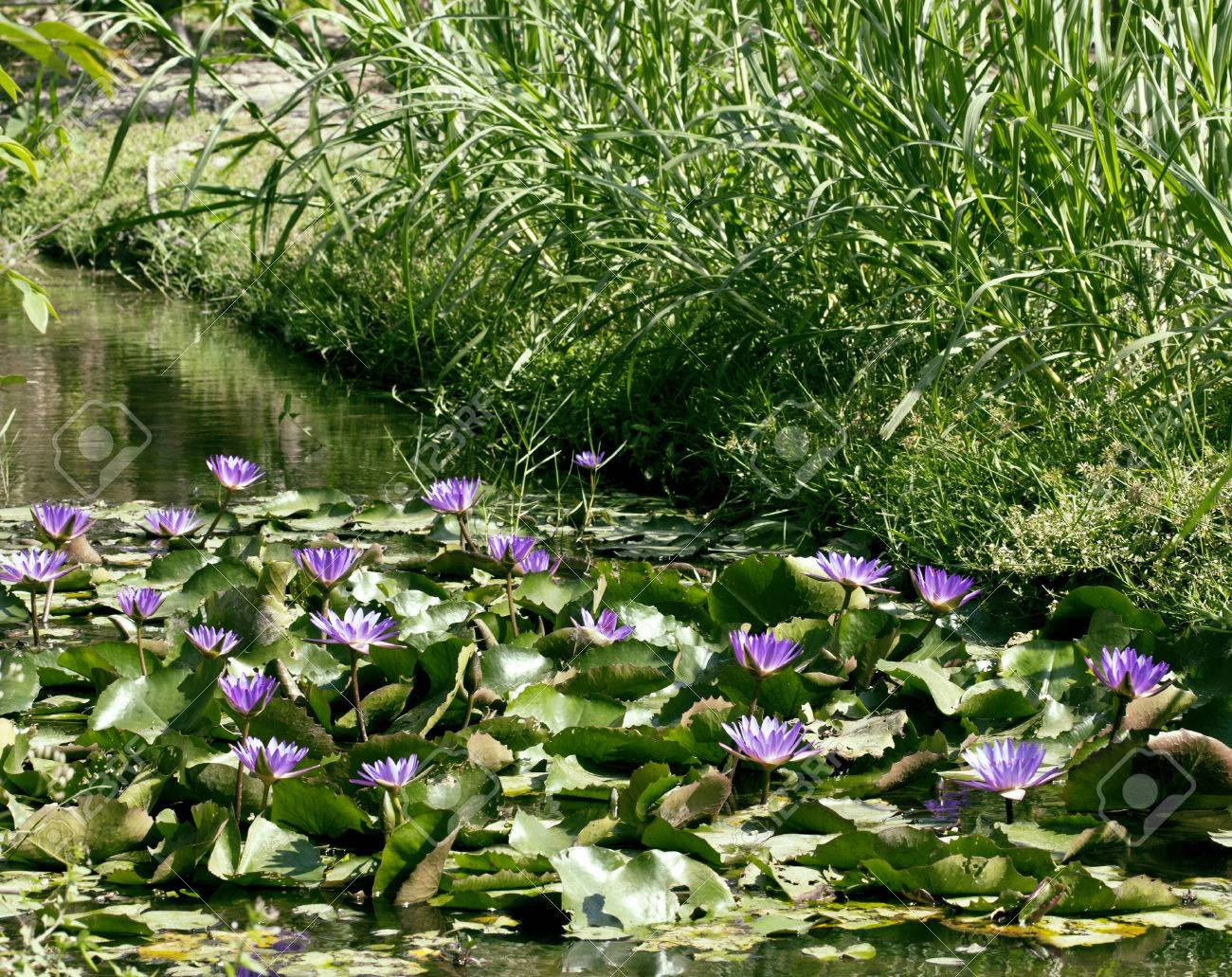 Real Lake With Lotus Flowers Wild Nature Oriental Perl Royalty Free