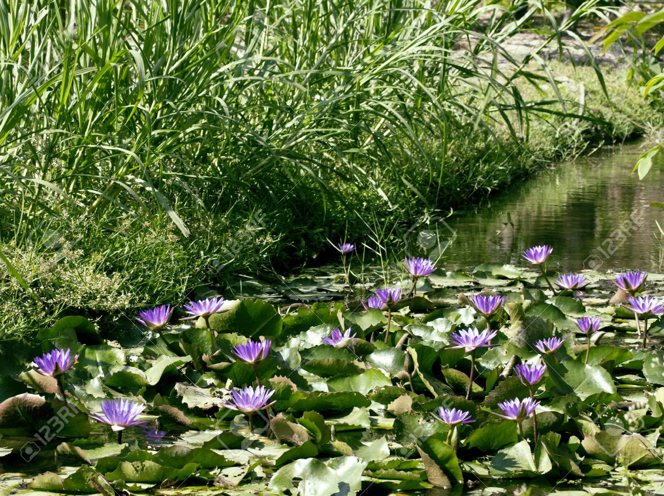 Real Lake With Lotus Flowers Wild Nature Oriental Perl Stock Photo