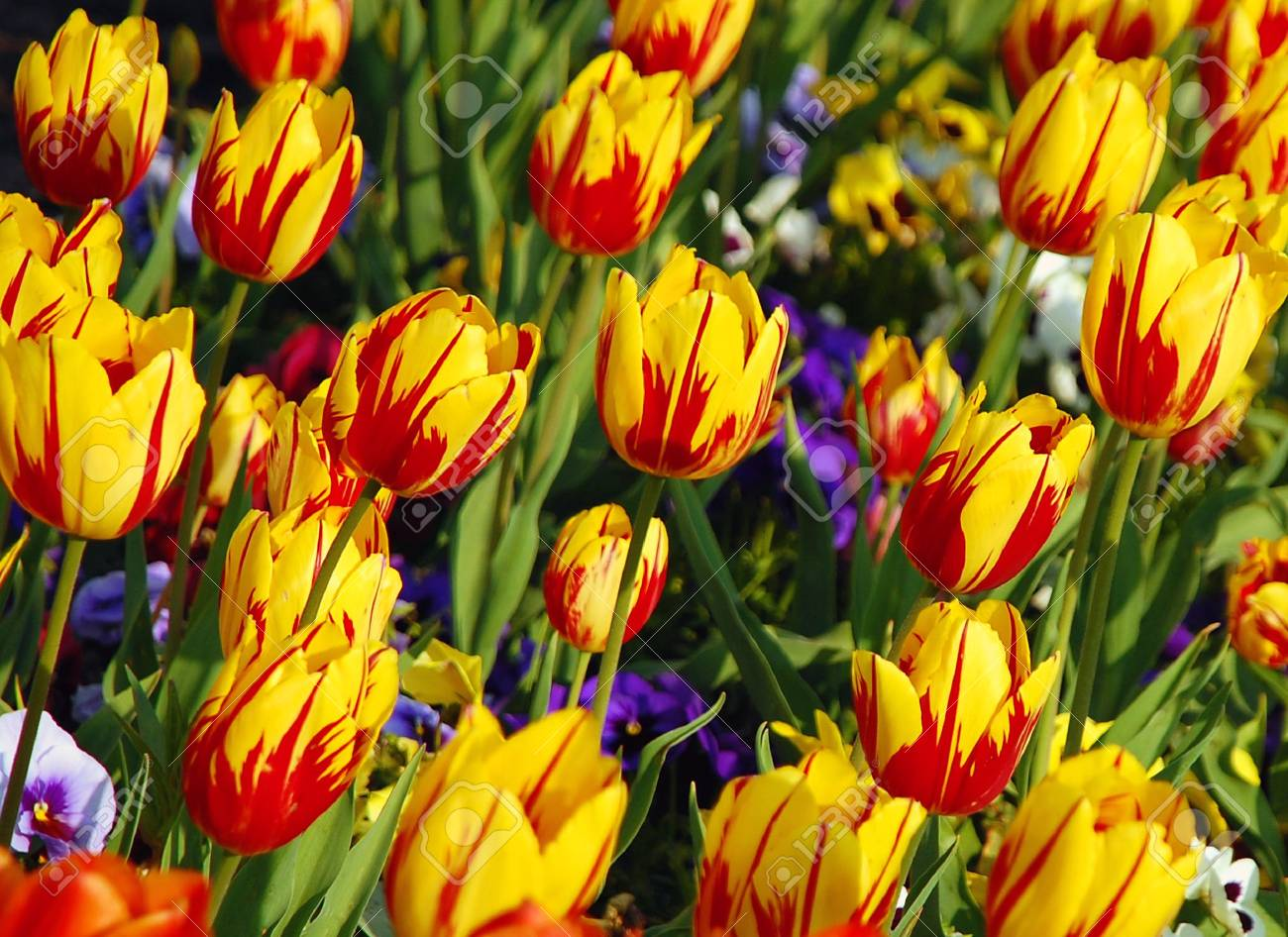 Red and yellow tulips Stock Photo - 3042793