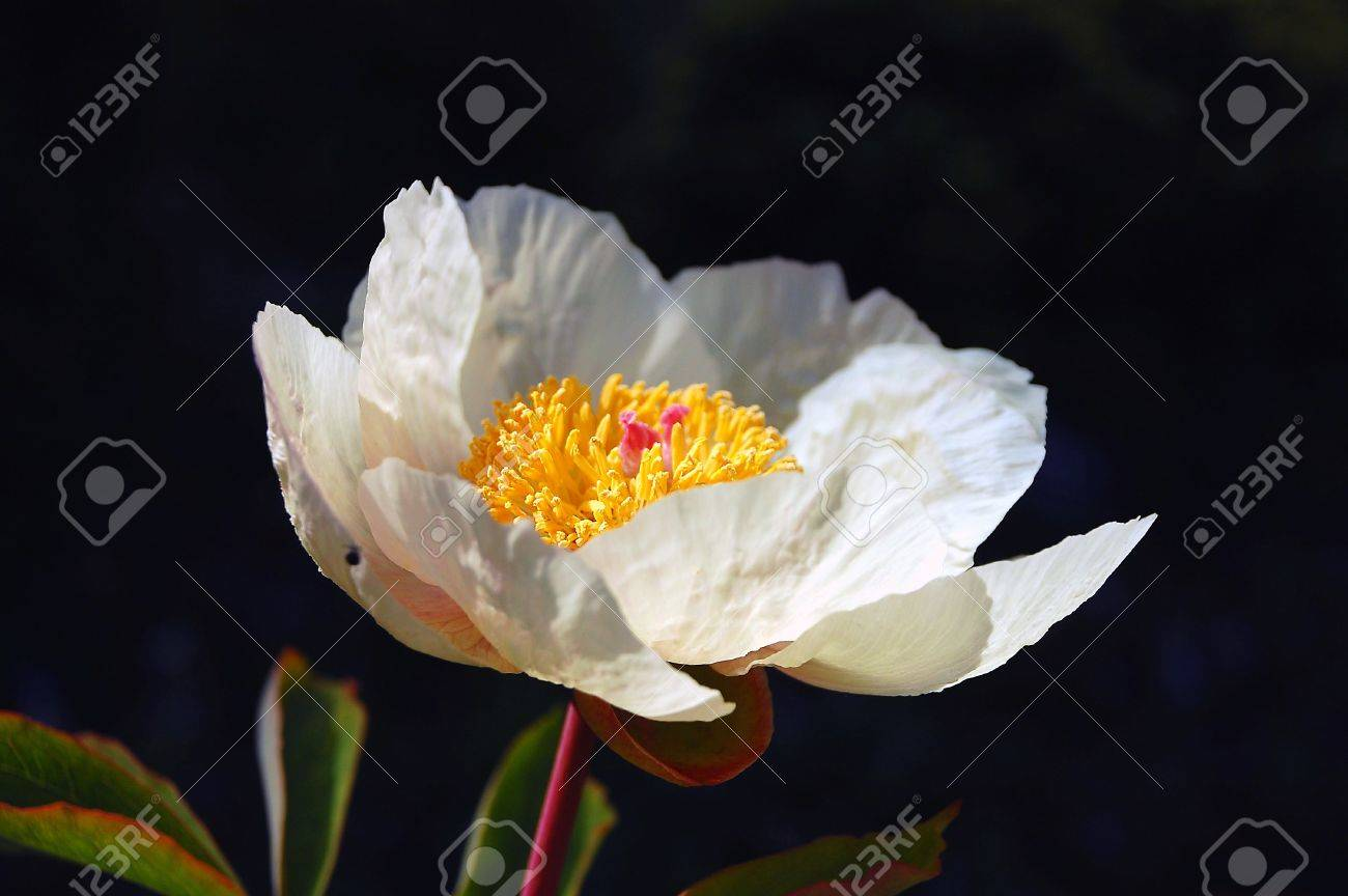 One white poppy Stock Photo - 3061103