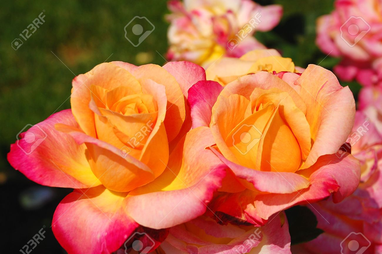 two peach coloured roses stock photo picture and royalty free image