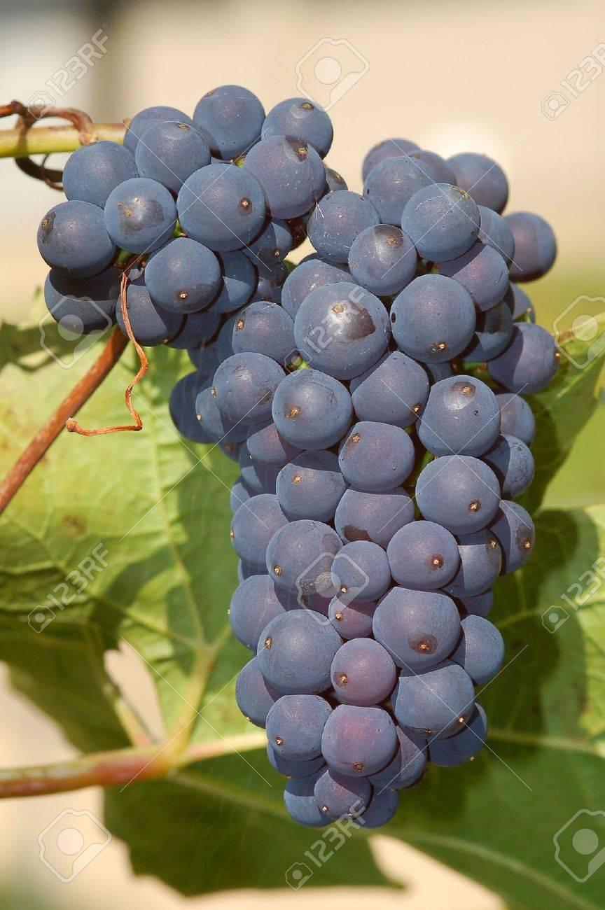Purple Concord Grapes On Vine Stock Photo Picture And Royalty