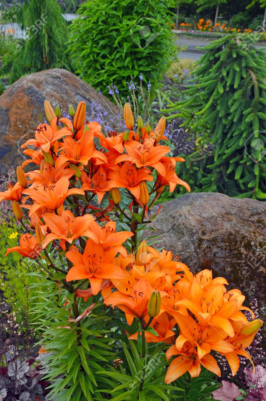 Fragrant Orange Lily Garden In Full Bloom Stock Photo Picture And