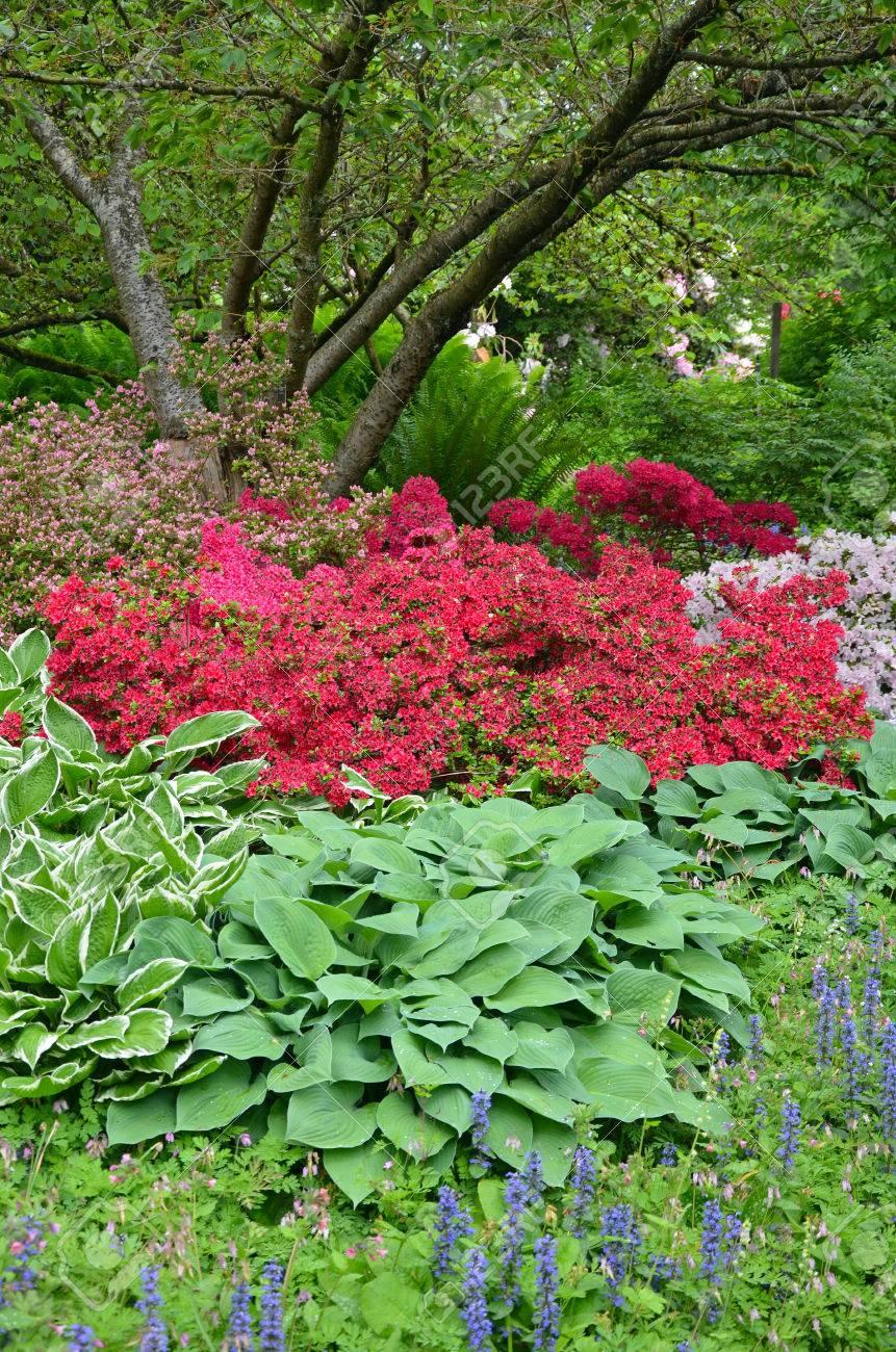 Colorful Spring Azalea Flowers And Hosta Plants Under Tree
