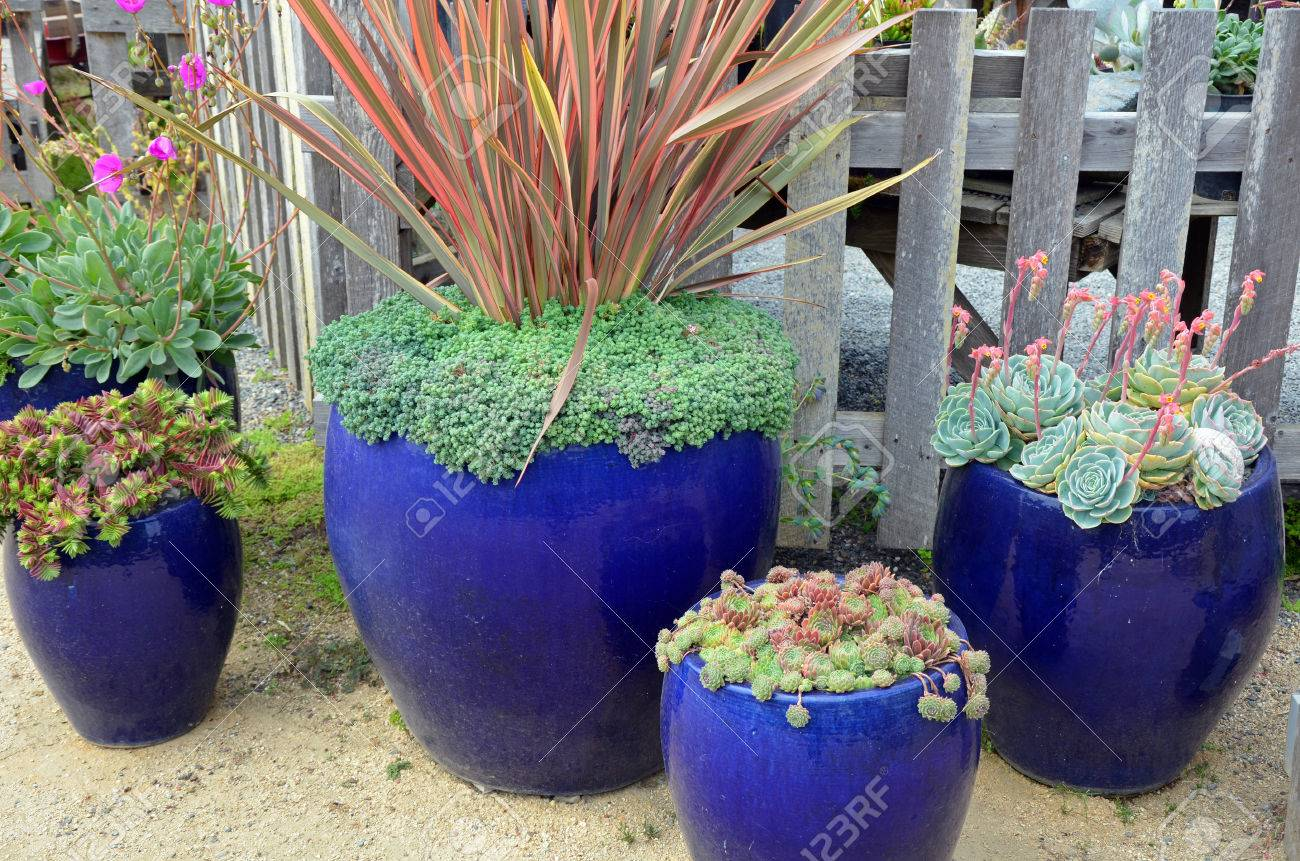 Blue ceramic planters filled with cacti plants
