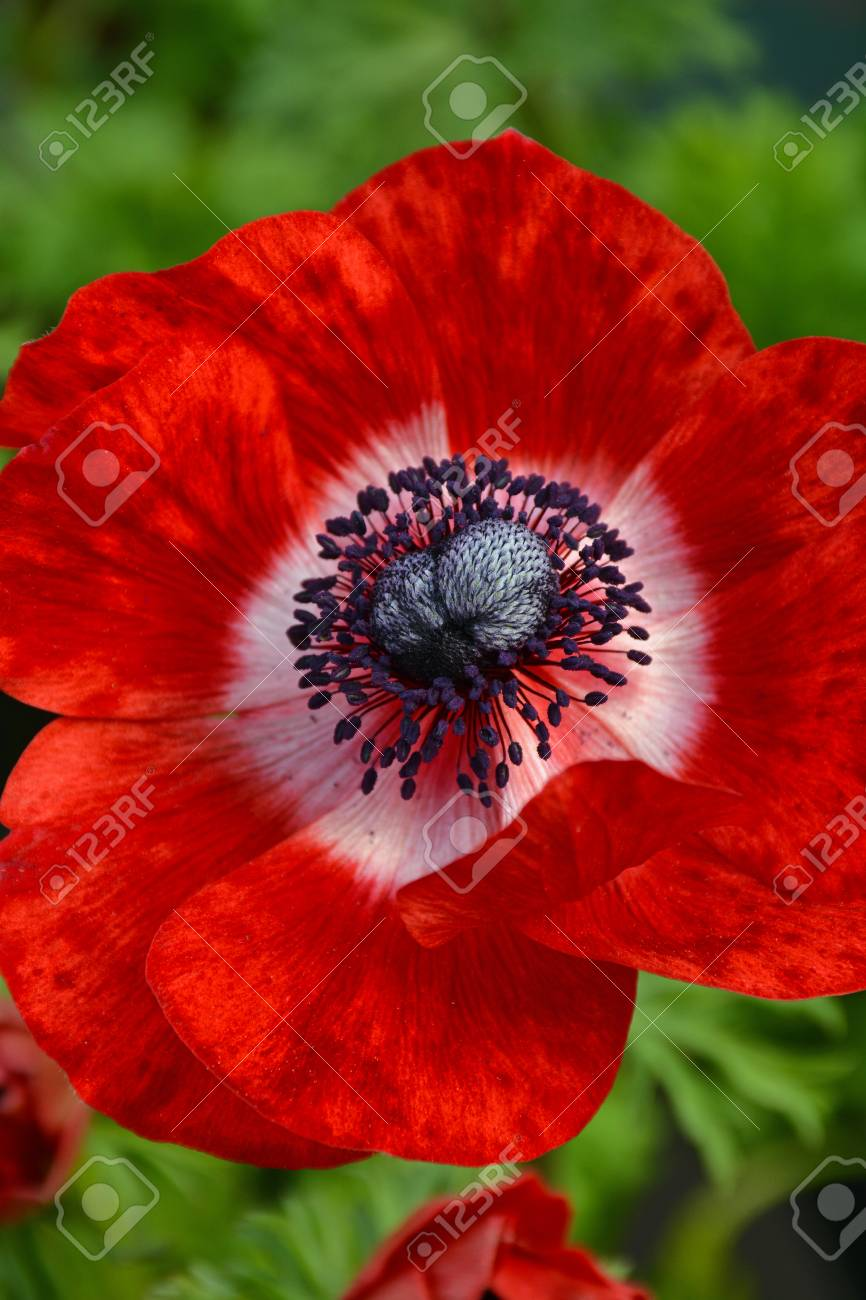 Beautiful Single Red Ornamental Poppy Flower With Black Center Stock
