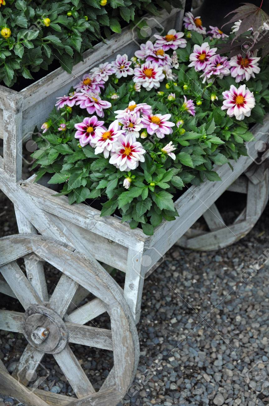 Pretty Pink Chrysanthemum Flowers On Decorative Wooden Wagon Stock