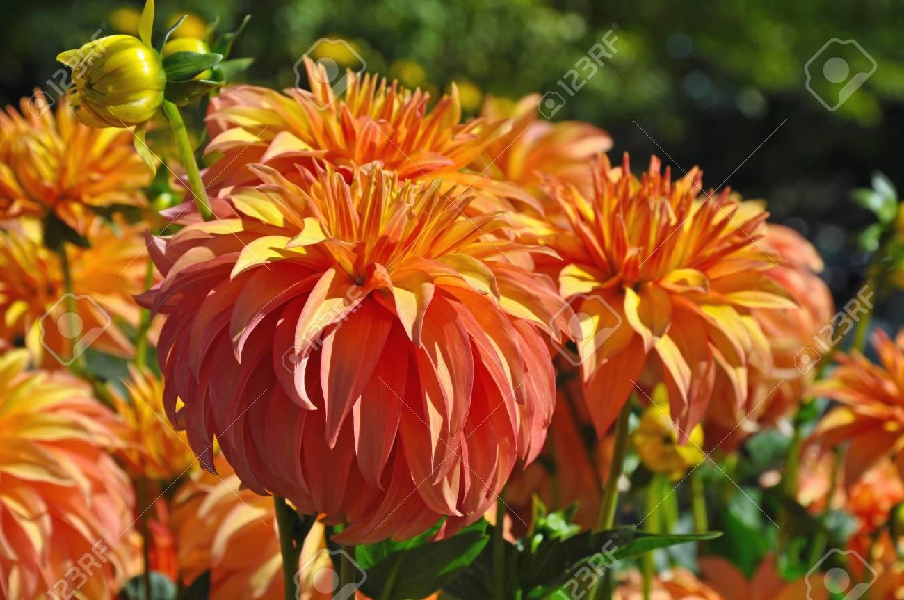 Beautiful Round Orange Dahlia Flowers In Perfect Bloom Stock Photo