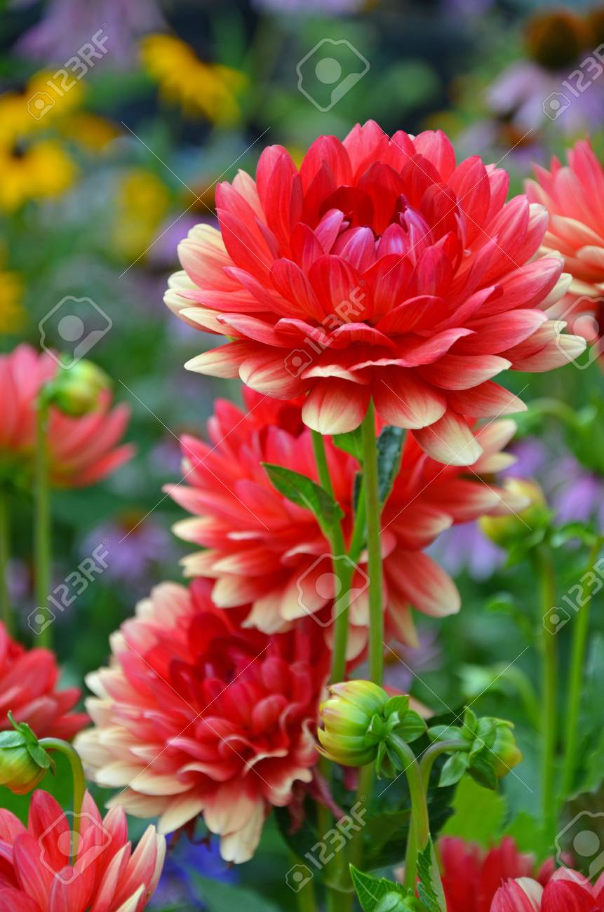 Beautiful red and yellow dahlia flower garden stock photo picture beautiful red and yellow dahlia flower garden stock photo 91876596 izmirmasajfo