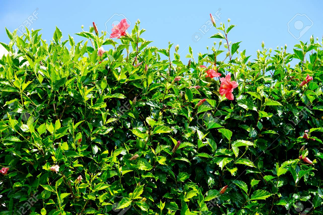 Hedgerow Of Red Hibiscus Blooms Stock Photo Picture And Royalty