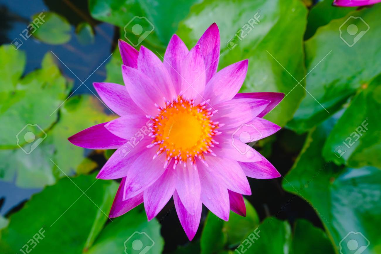 Top view of beautiful purple water lily or purple lotus flower stock photo top view of beautiful purple water lily or purple lotus flower blooming on the water in gardenthailand selective focus with blurred izmirmasajfo