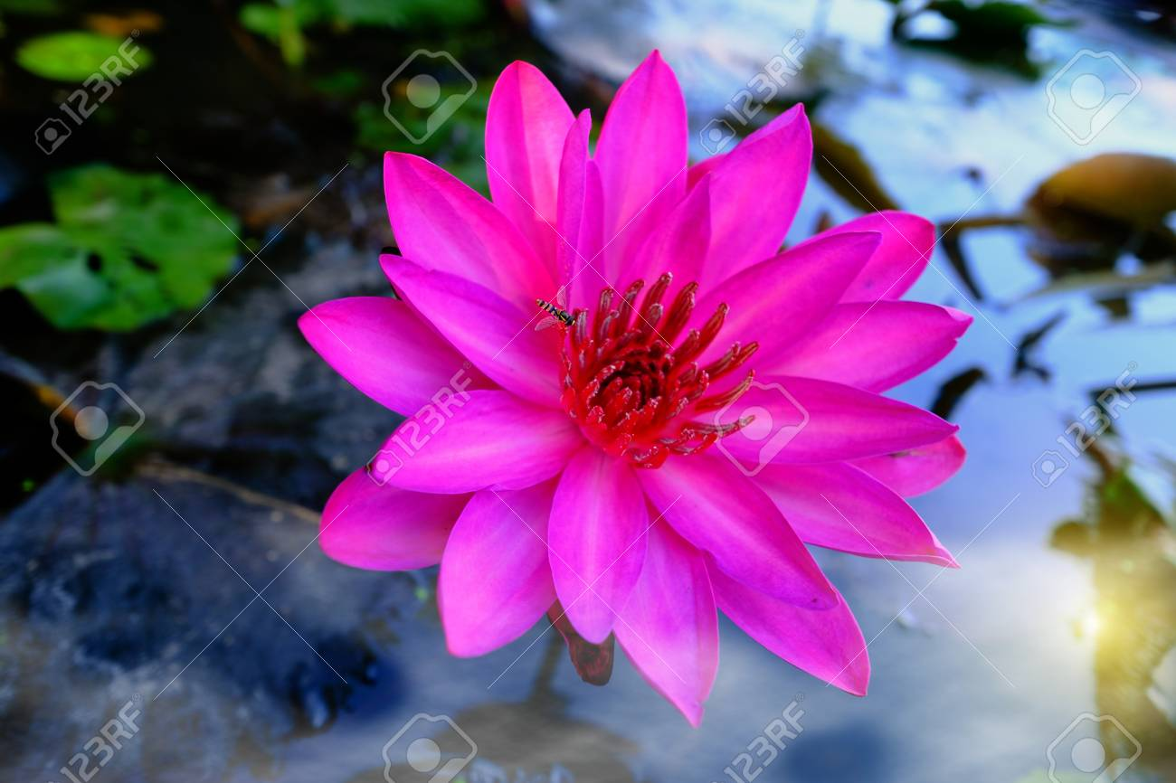 Top view of beautiful pink water lily or pink lotus flower blooming stock photo top view of beautiful pink water lily or pink lotus flower blooming on the water in gardenthailand selective focus with blurred background izmirmasajfo