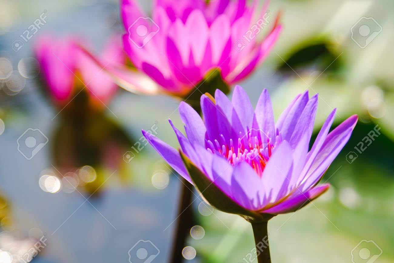 This beautiful purple water lily or lotus flower blooming on stock stock photo this beautiful purple water lily or lotus flower blooming on the water in gardenthailand selective and soft focus with blurred background izmirmasajfo
