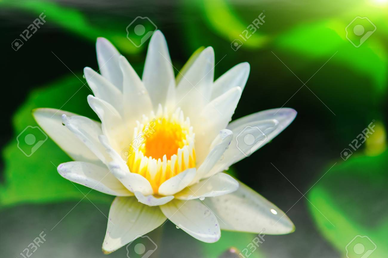 Top view of beautiful white water lily or white lotus flower stock 70432605 top view of beautiful white water lily or white lotus flower blooming on the water in garden thailang izmirmasajfo