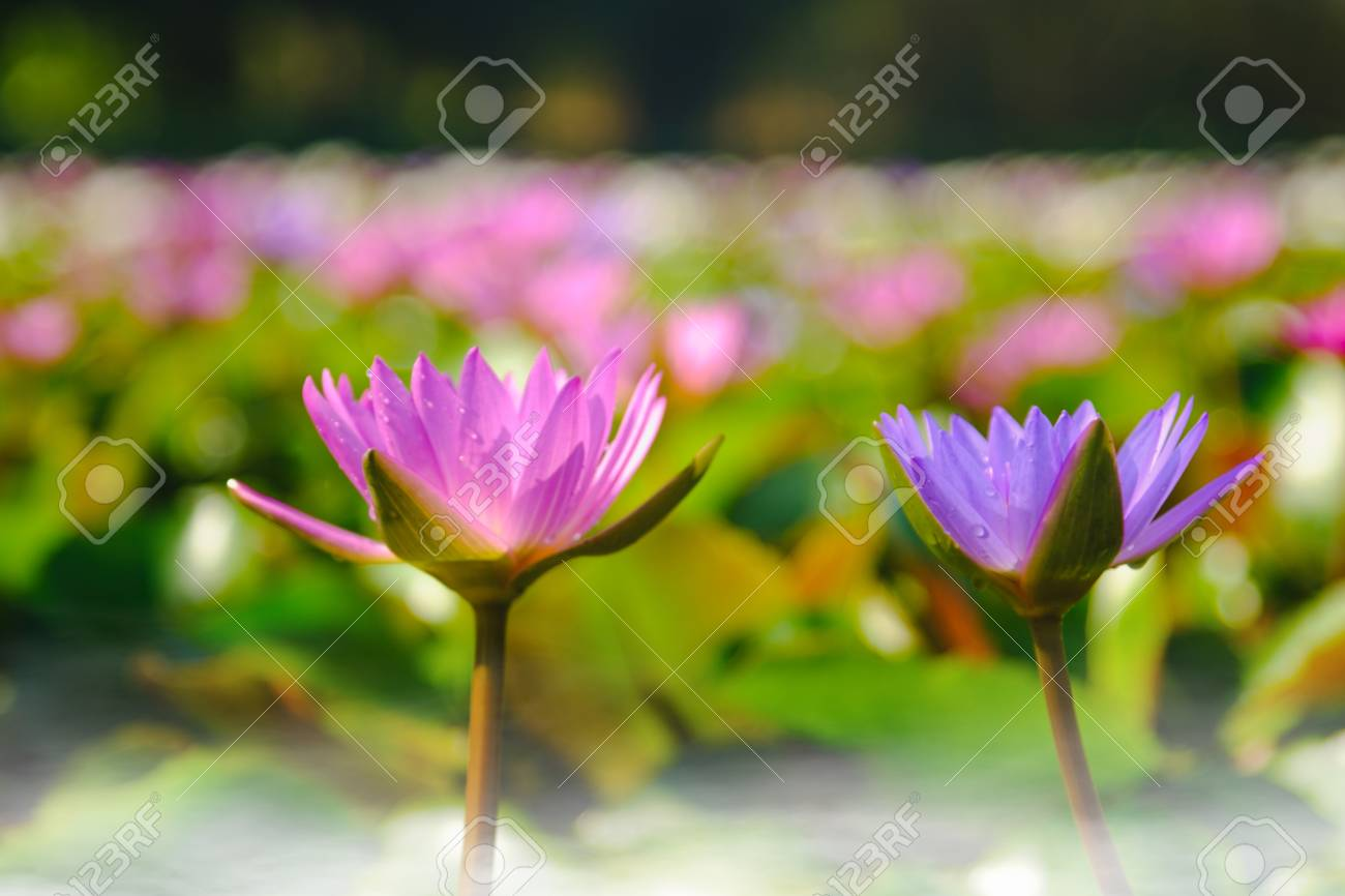 This beautiful purple water lily or lotus flower blooming on stock stock photo this beautiful purple water lily or lotus flower blooming on the water with fog effect in gardenthailand selective and soft focus with izmirmasajfo
