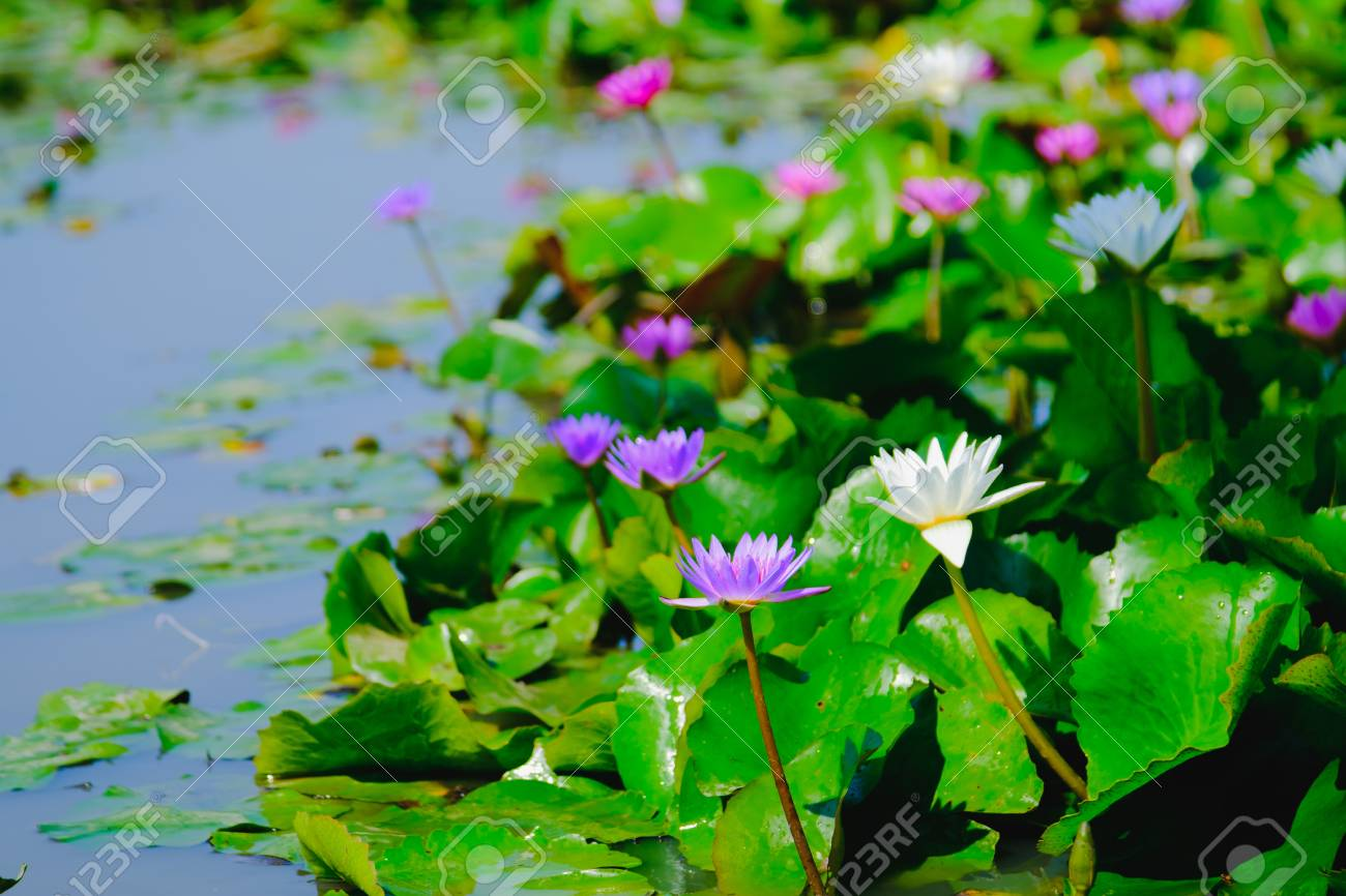 This beautiful water lily or lotus flower blooming on the water stock photo this beautiful water lily or lotus flower blooming on the water in gardenthailand selective and soft focus with blurred background izmirmasajfo