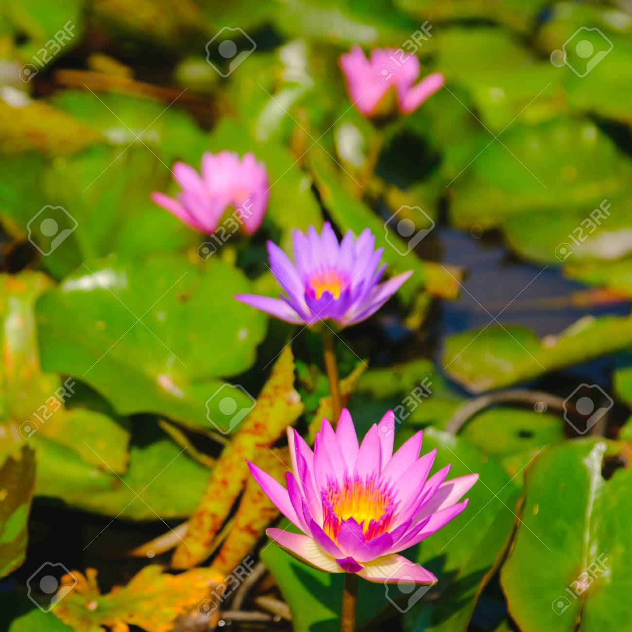 This beautiful pink water lily or lotus flower blooming on the stock photo this beautiful pink water lily or lotus flower blooming on the water in gardenthailand selective and soft focus with blurred background izmirmasajfo