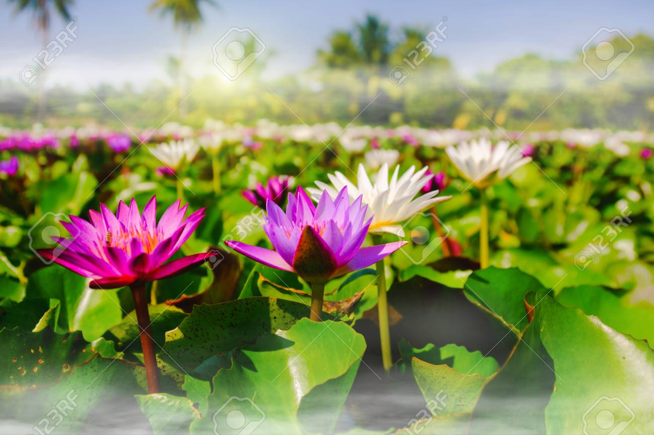 This beautiful pink water lily or lotus flower blooming on the stock photo this beautiful pink water lily or lotus flower blooming on the water with fog effect in gardenthailand selective and soft focus with blurred izmirmasajfo
