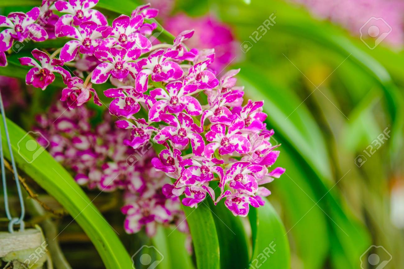Beautiful Pink Orchids In Orchids Garden. Stock Photo   71292469
