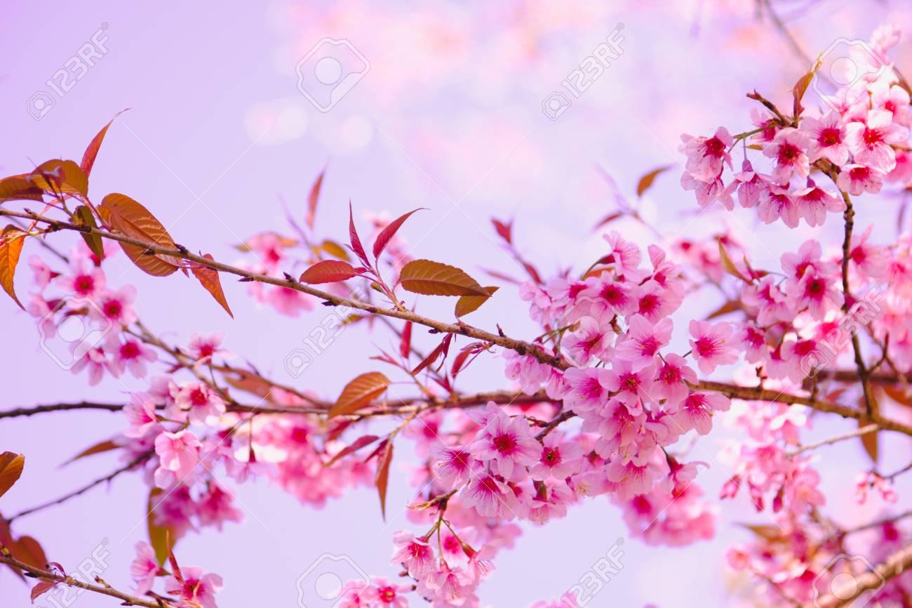 Enfoque Selectivo Rama De La Flor De Cerezo Del Himalaya También