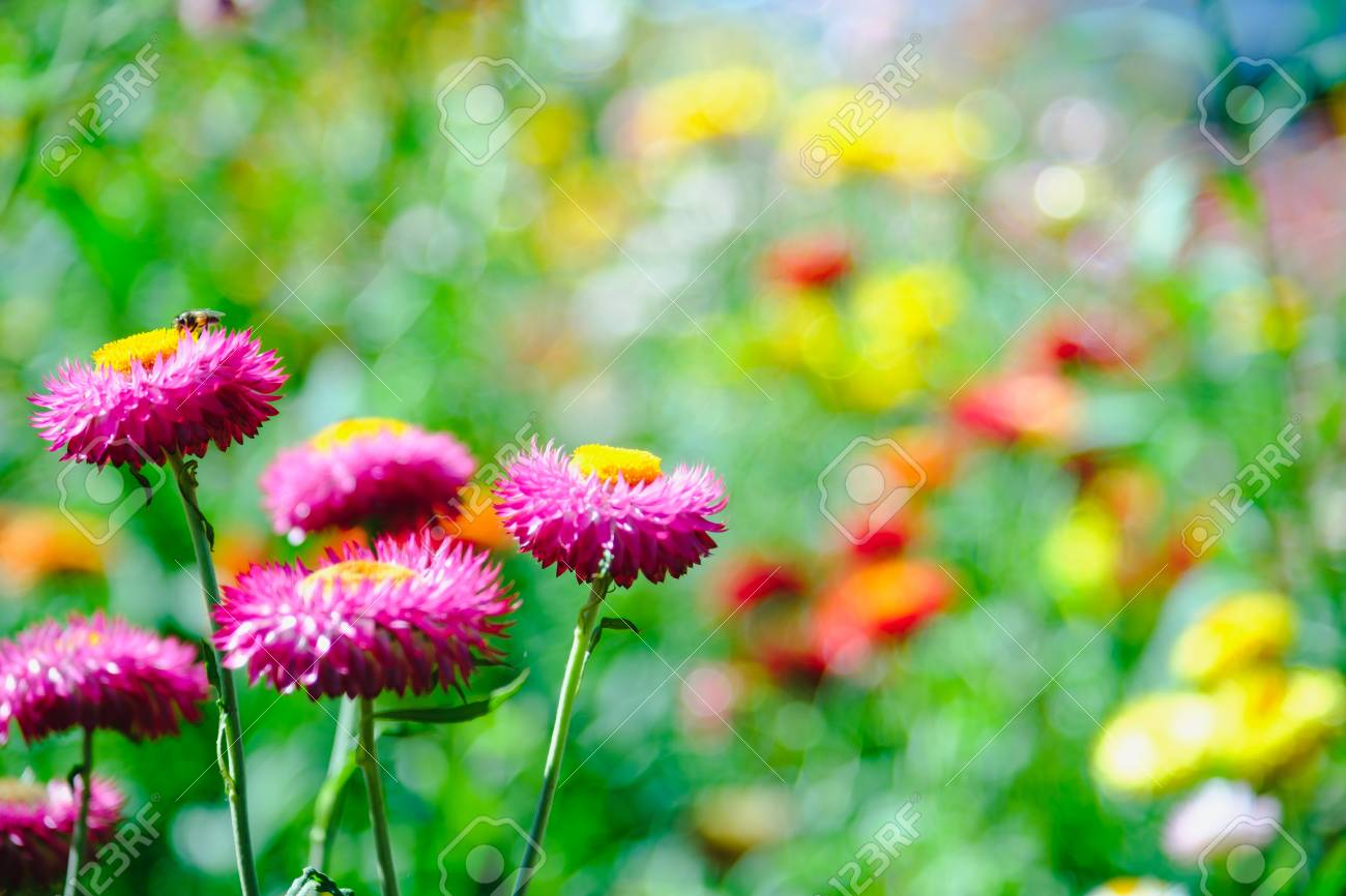 Straw Flower Or Everlasting Or Paper Daisy Flower In Garden With