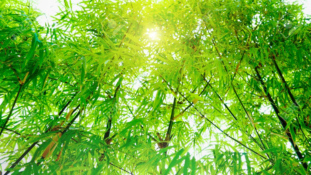 Soft Focus In Green Bamboo Leaves With Sunlight Effect Background.. Stock  Photo, Picture And Royalty Free Image. Image 71811089.