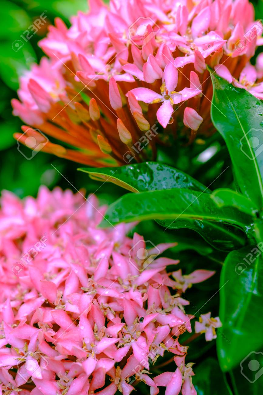 Water drop on pink flower spike rubiaceae flower ixora coccinea water drop on pink flower spike rubiaceae flower ixora coccinea and select focus front mightylinksfo Image collections