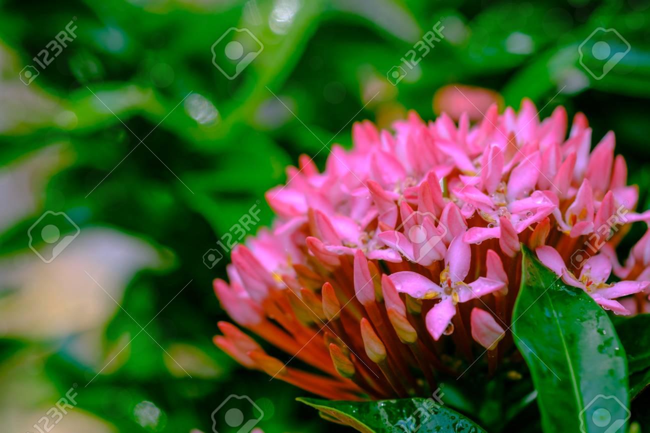 Water Drop On Pink Flower Spike Rubiaceae Flower Ixora Coccinea
