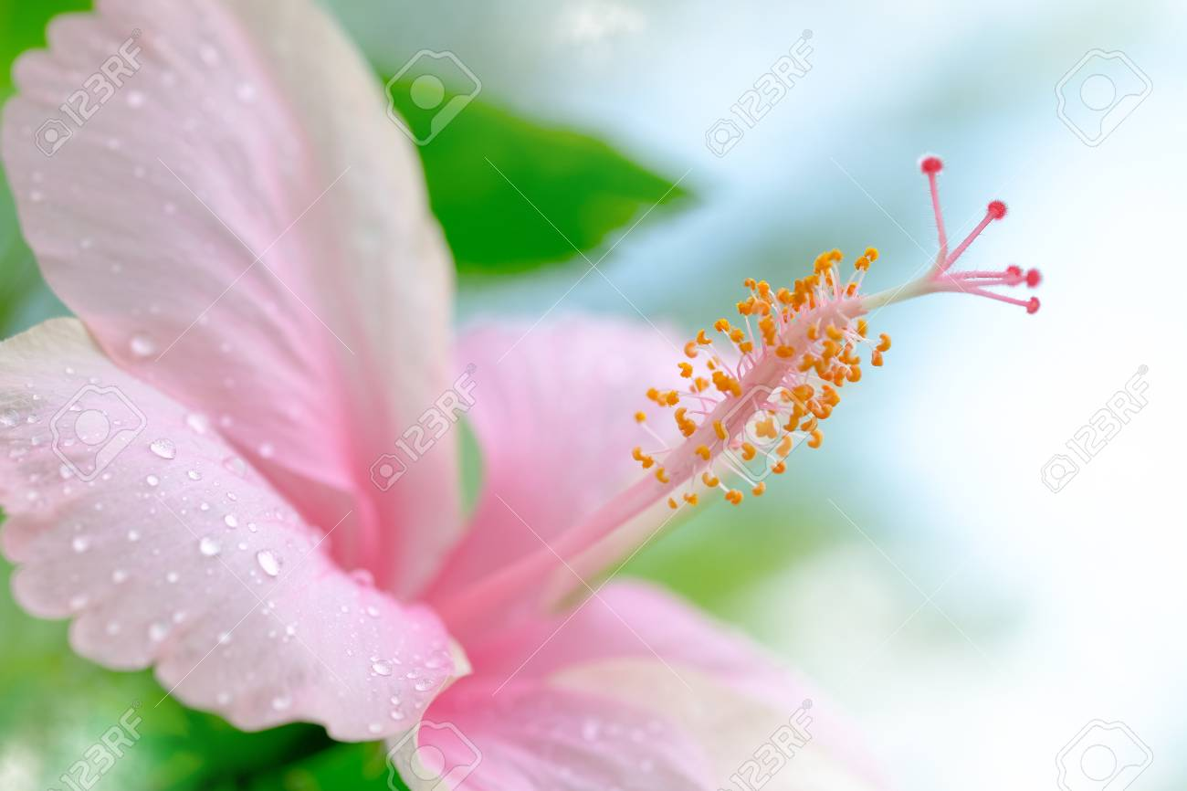 Pink hibiscus flower blooming with water drop on blurred green pink hibiscus flower blooming with water drop on blurred green nature background selective and soft izmirmasajfo