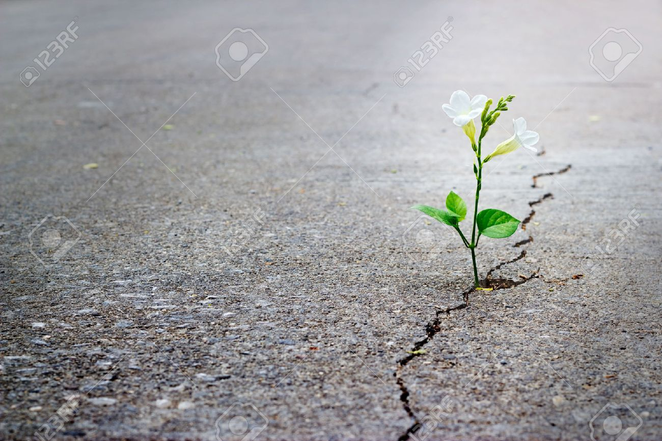 white flower growing on crack street, soft focus, blank text - 41537383