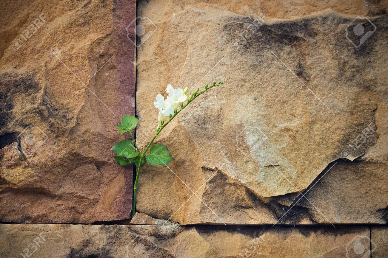 white flower growing on crack stone wall soft focus, blank text - 50572155