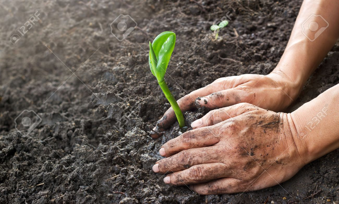 Man hands planting the young tree while working in the garden, ,Ecology concept Standard-Bild - 55379196
