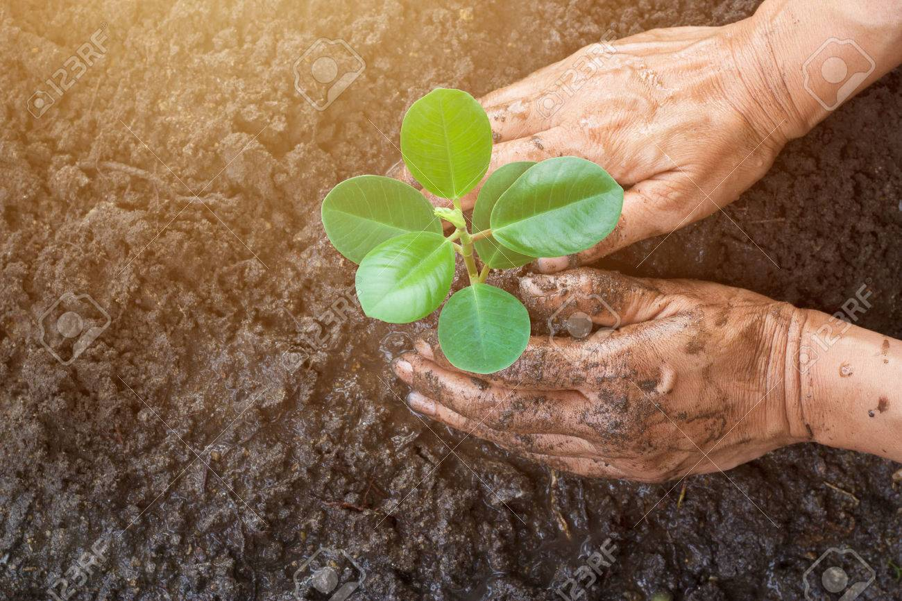 Man hands planting the young tree while working in the garden, ,Ecology concept Standard-Bild - 55379199