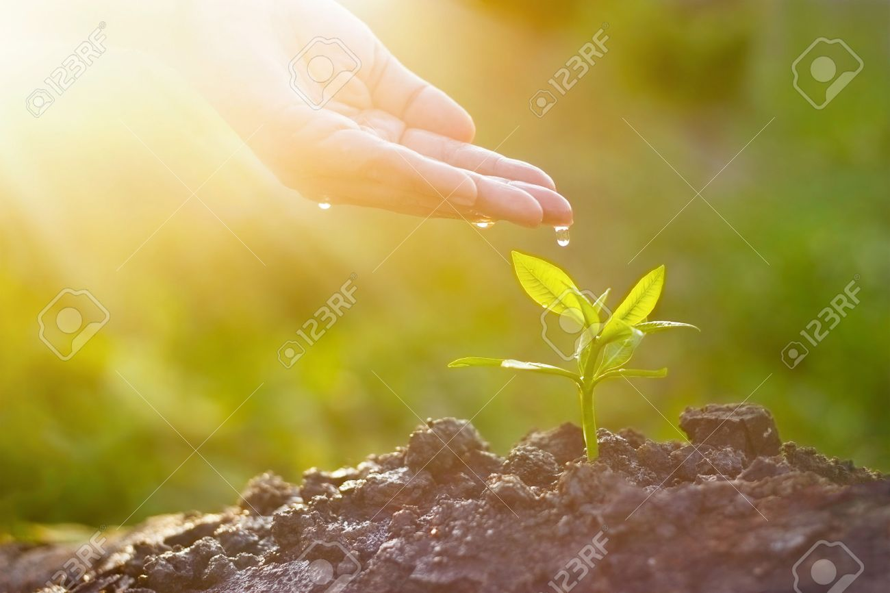 Hand nurturing and watering young plant on sunshine nature background, Vintage color tone, New Life concept Standard-Bild - 60007498