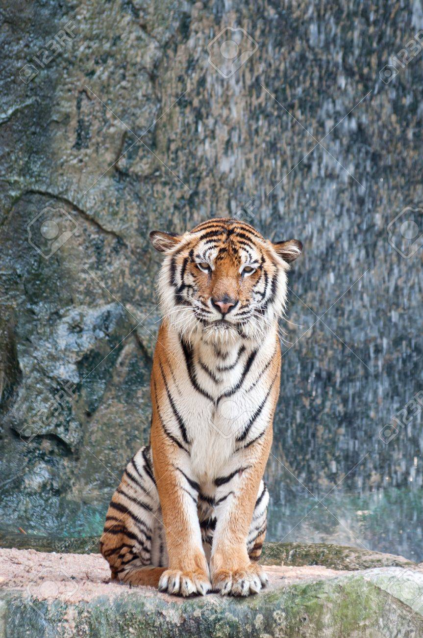 the tiger on the rock near the waterfall stock photo, picture and