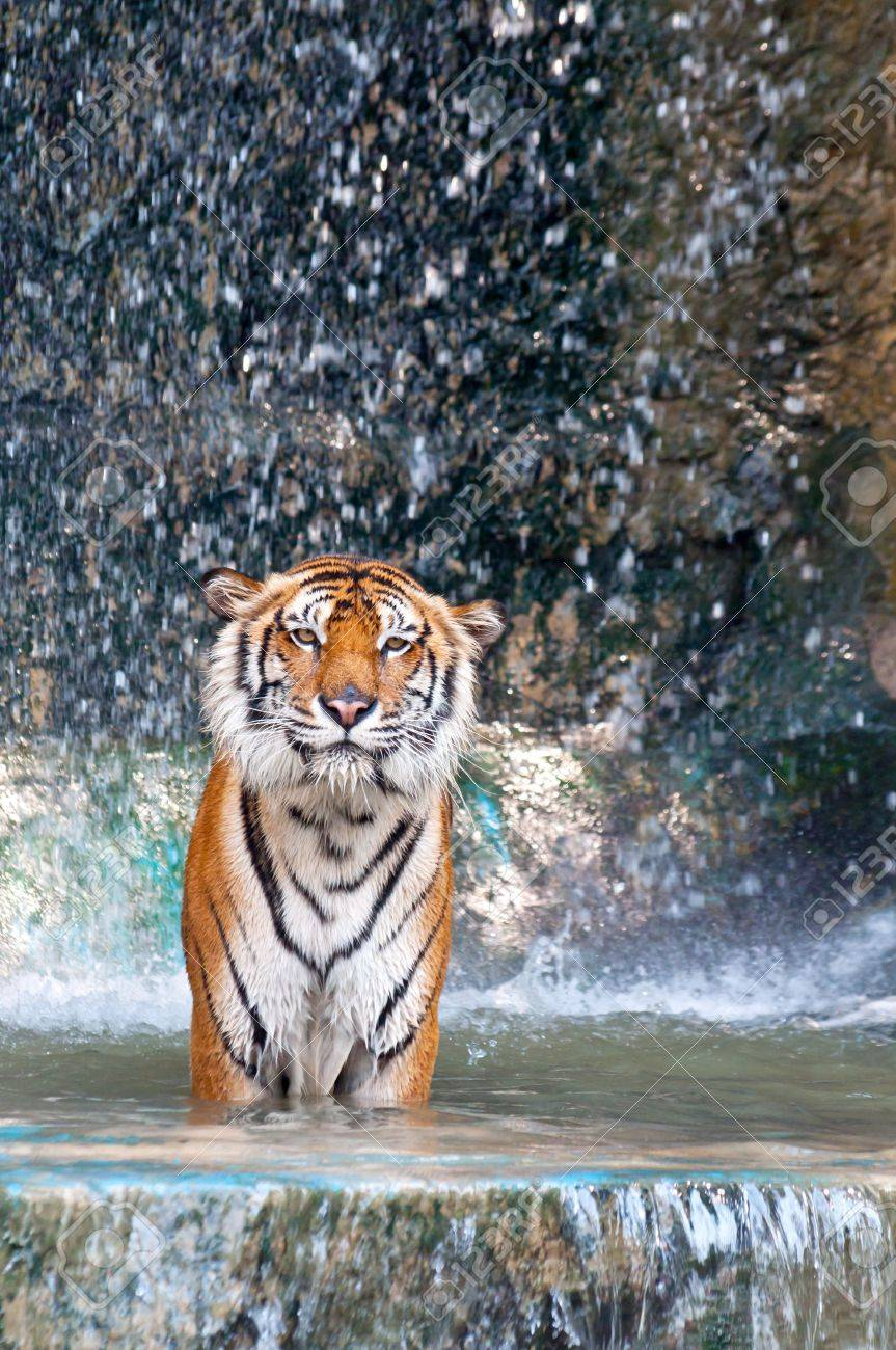 the tiger in water and waterfall stock photo, picture and royalty
