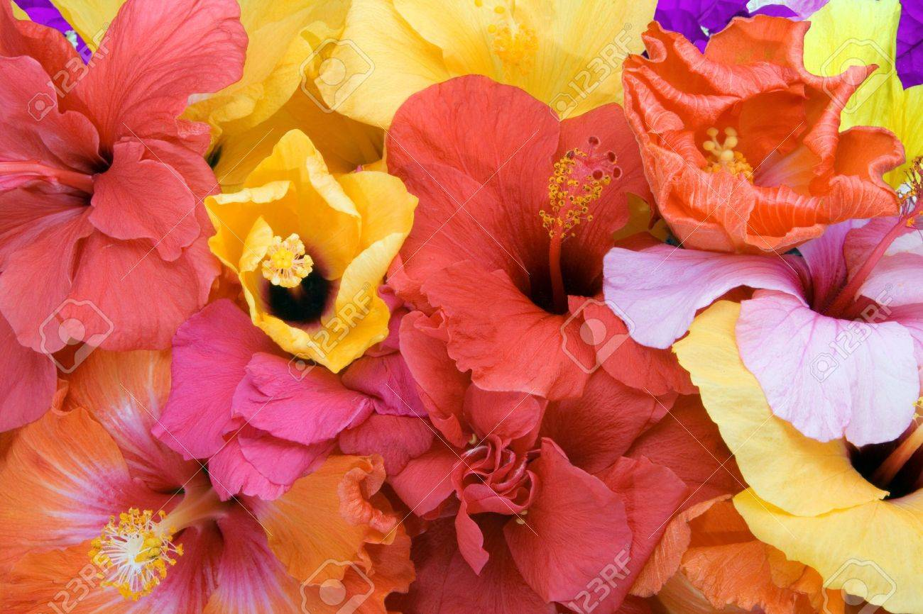 Tropical flowers - Hibiscus  and Bougainvillea Stock Photo - 4261038